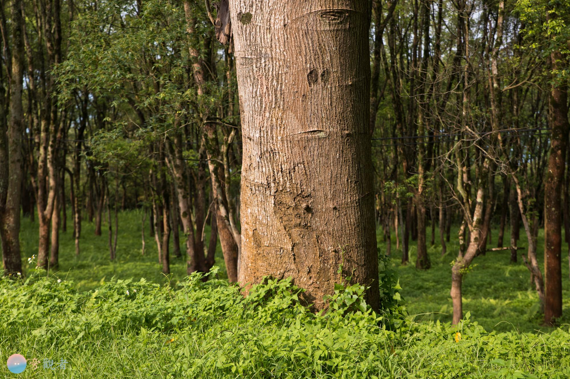 暨南大學校園的森林。南投埔里南村