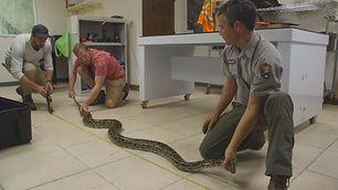 619-Measuring python in lab - Big Cypres