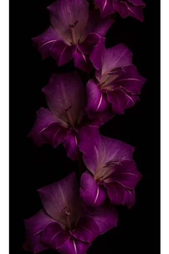 Gladioli Violet
