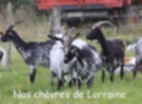 chèvres de Lorraine de la Ferme des Sureaux