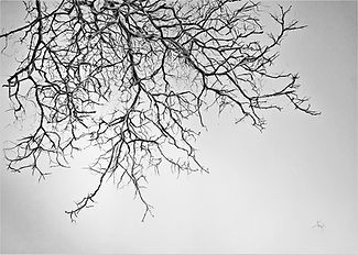 Overhanging%20walnut%20tree%2070cm%20x%2