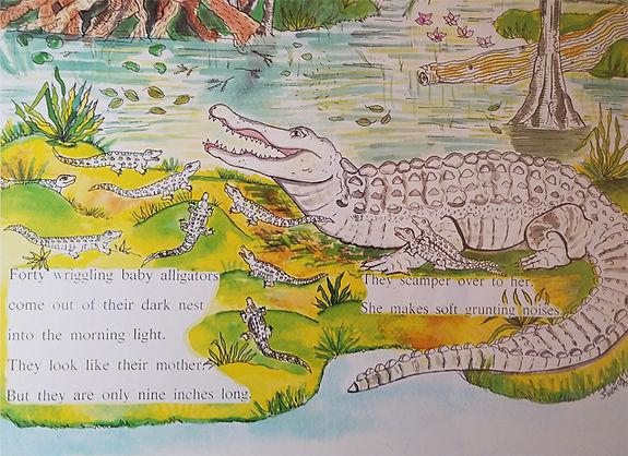 Alligator HSC.jpg