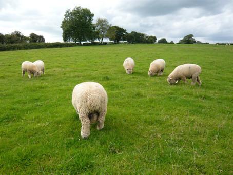 Appletree Flock Lambs