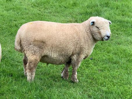 2x2 Shear Ryeland Tups