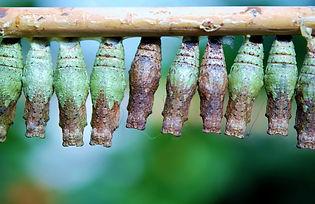 cocoon-butterfly-209095.jpg