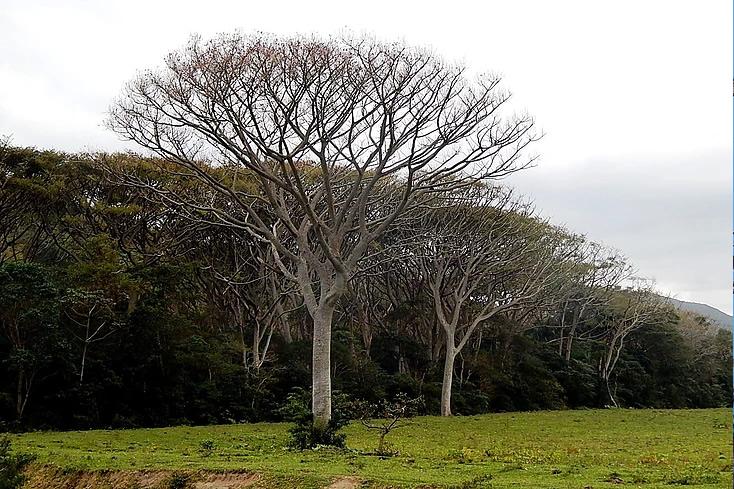Garapuvu - Arvore Simbolo da Ilha