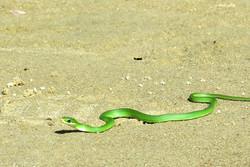Cobra Verde na Praia