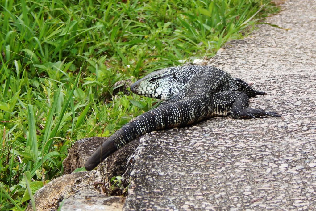 lagarto teiú - fauna local