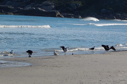 gaivotas - aves marinhas