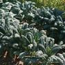 Kale Toscano