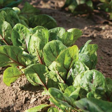 Spinach Red Kitten
