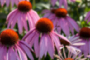 Purple Coneflower- Missouri indigenous flower