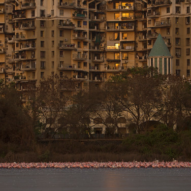 Flamingoes_aishwarya sridhar