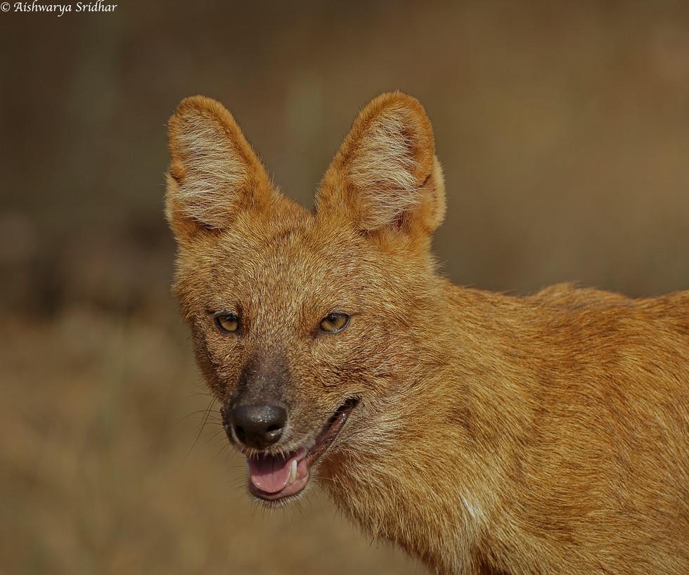 wild dog_5898.JPEG
