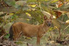 Wild dog_5933.jpg