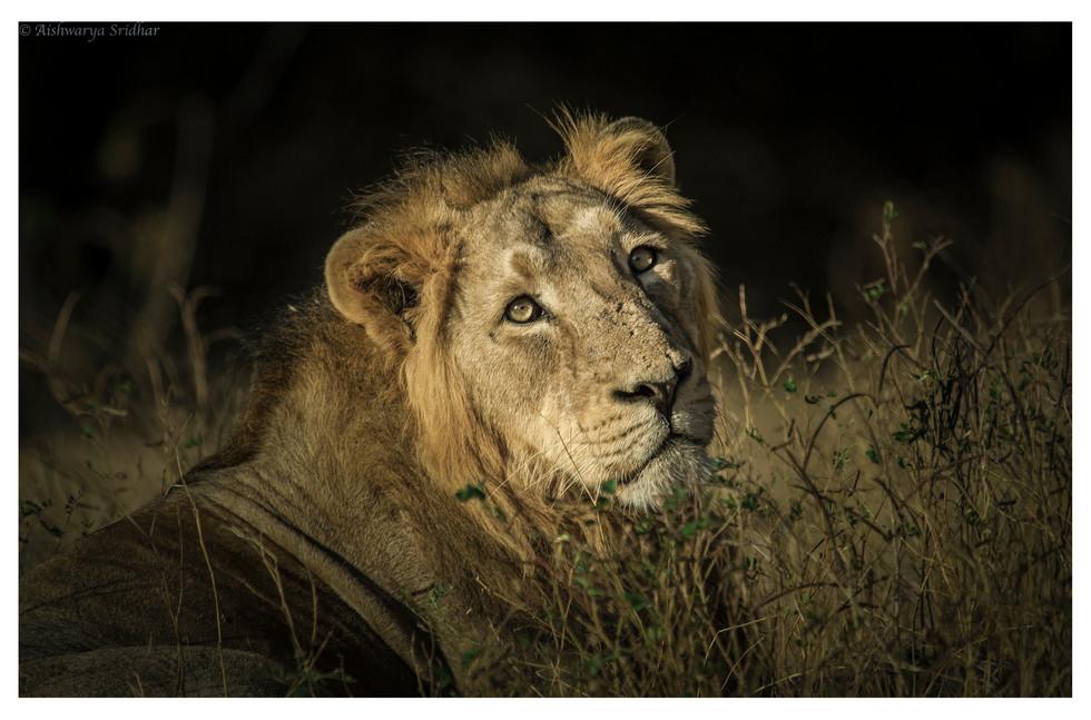 male lion1_-5070 (insta).jpg