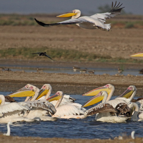 Pelicans_aishwarya sridhar