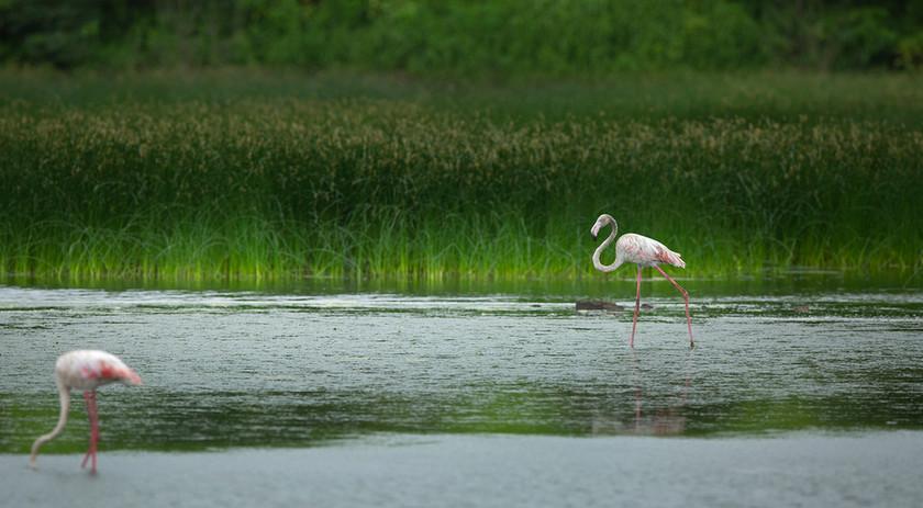 AishwaryaSridhar_Panje_Flamingoes_0552.jpg