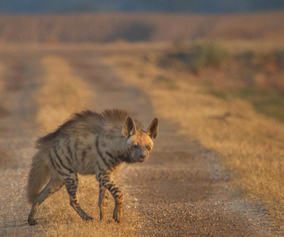 hyena_3213.jpg