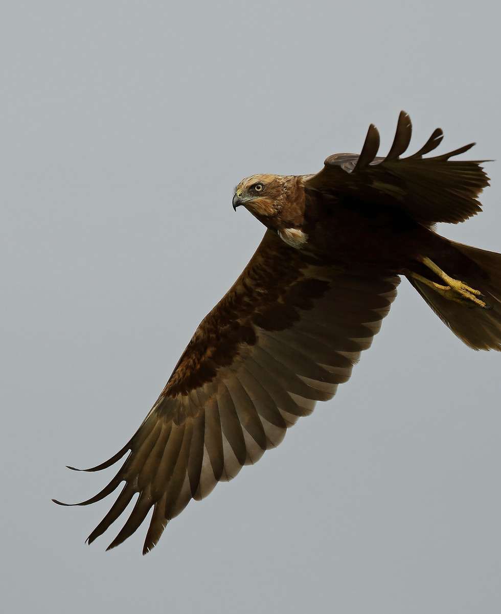 Marsh Harrier1_5473 copy.jpg