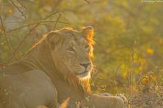 male lion_5614.jpg