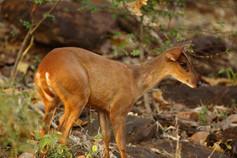 barking deer_3806.JPG
