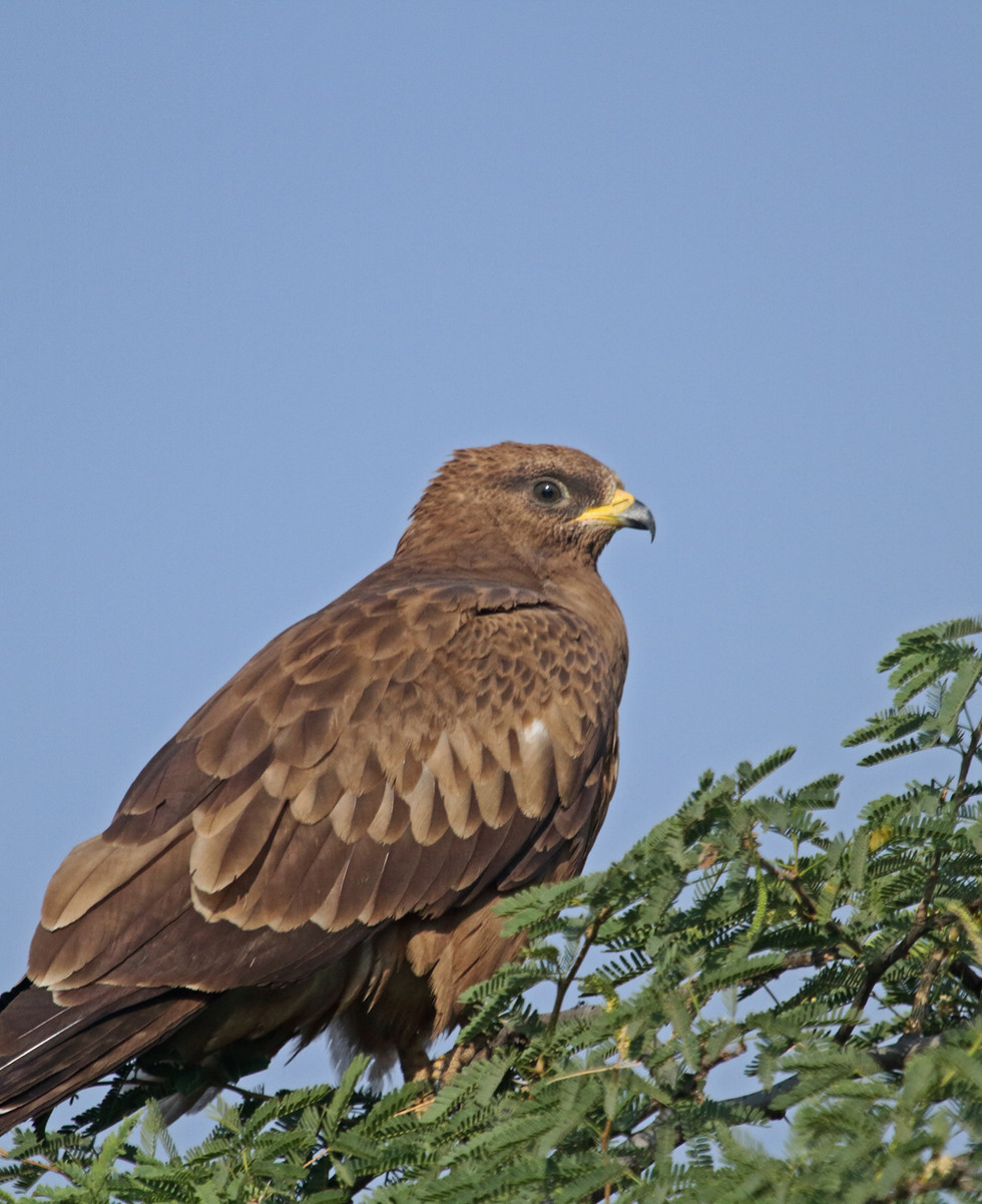 Steppe eagle_3412.jpg