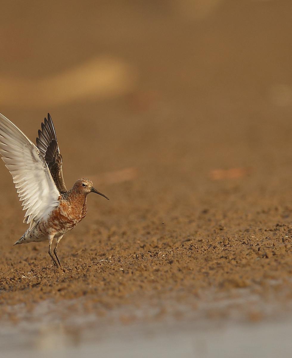 curlew sandpiper.jpg