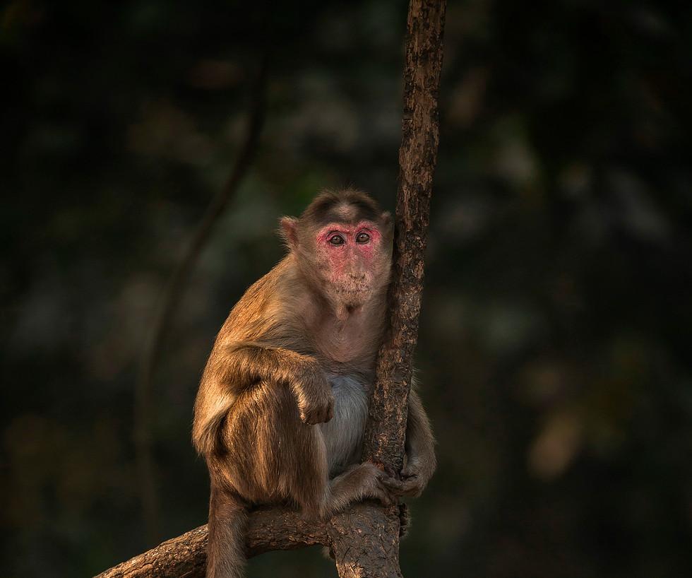 Bonnet Macaque_5083.jpg
