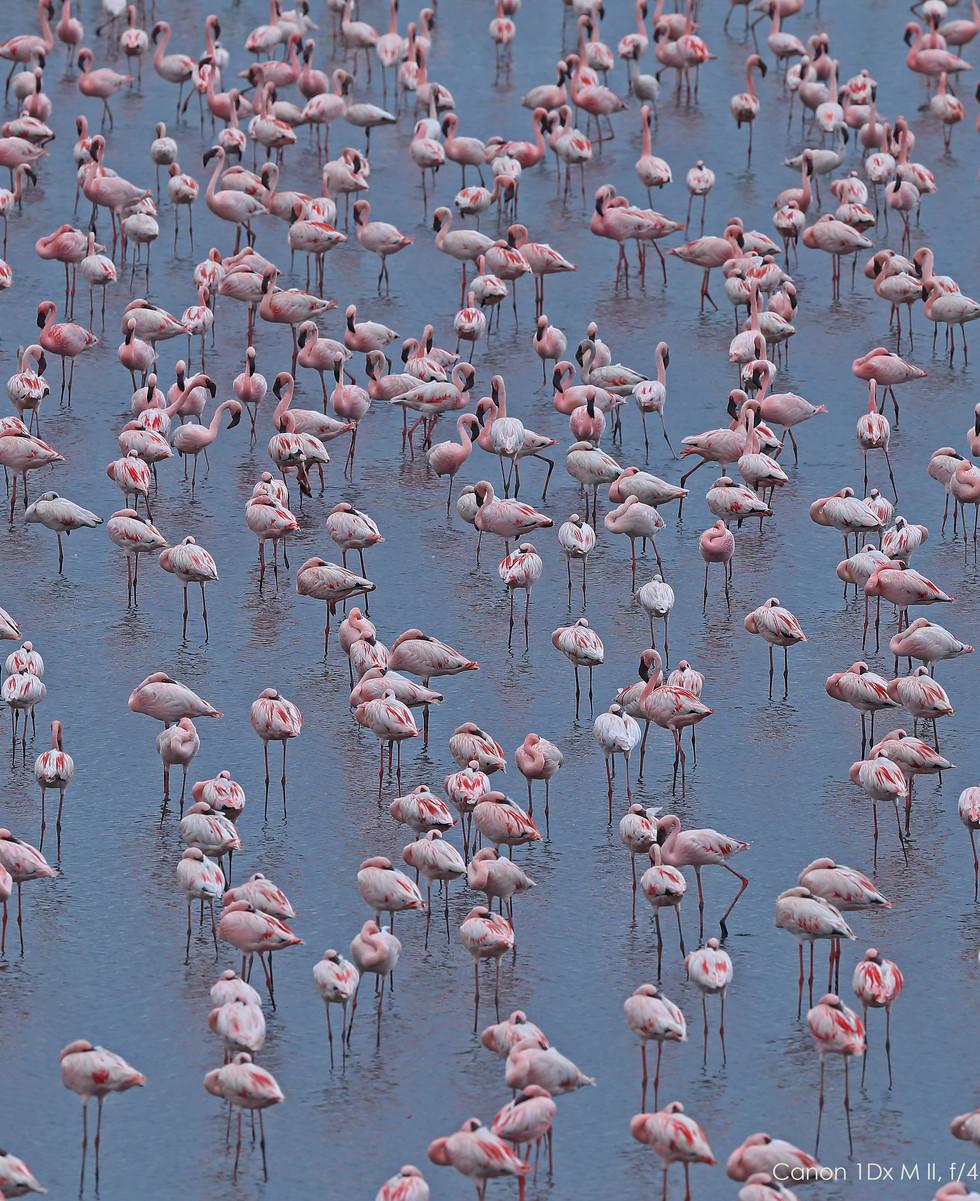 Flamingoes_1841.jpg