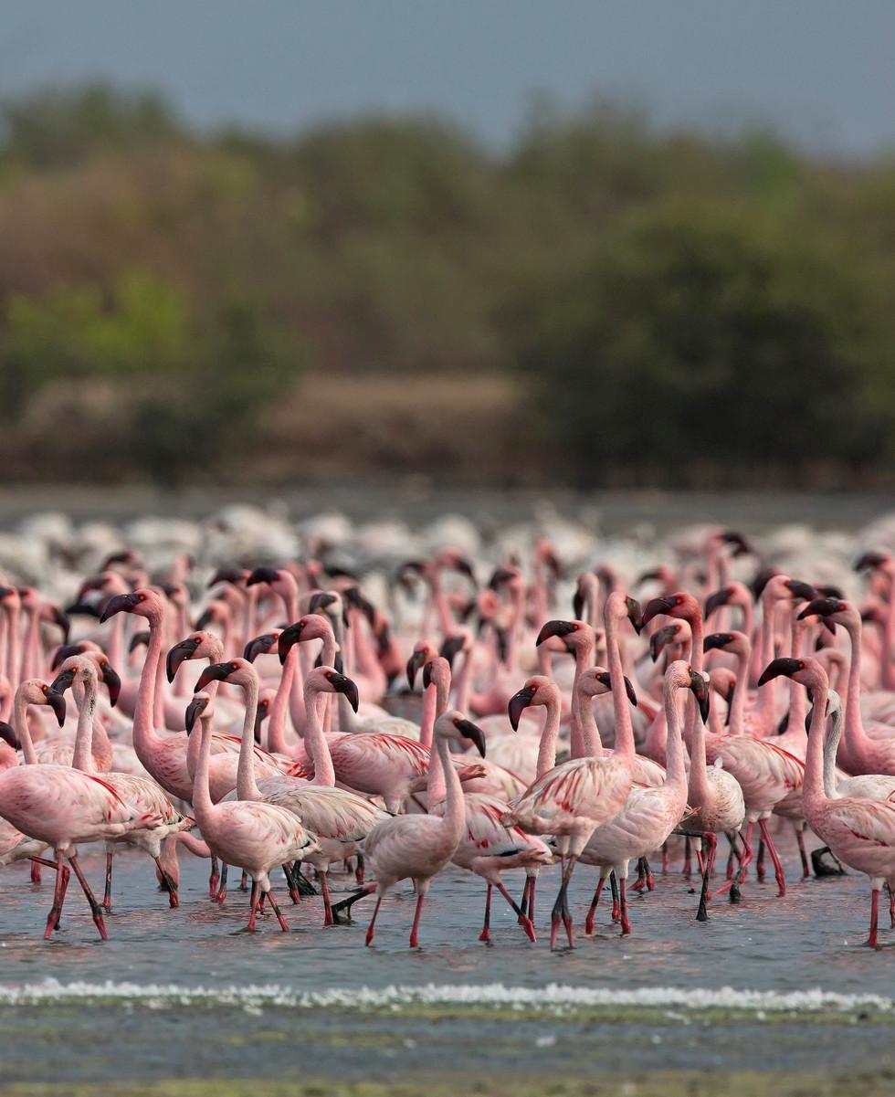 flamingoes_8073.jpg