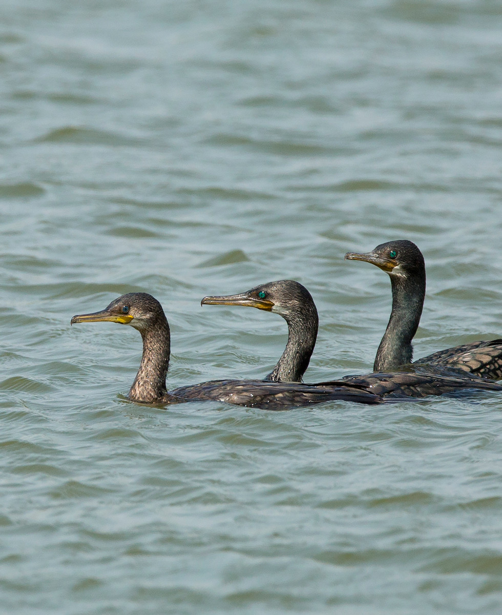 greater cormorant1_9249.jpg