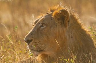 male lion_5047.jpg