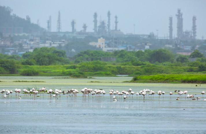 AishwaryaSridhar_Panje_Flamingoes_8898.jpg