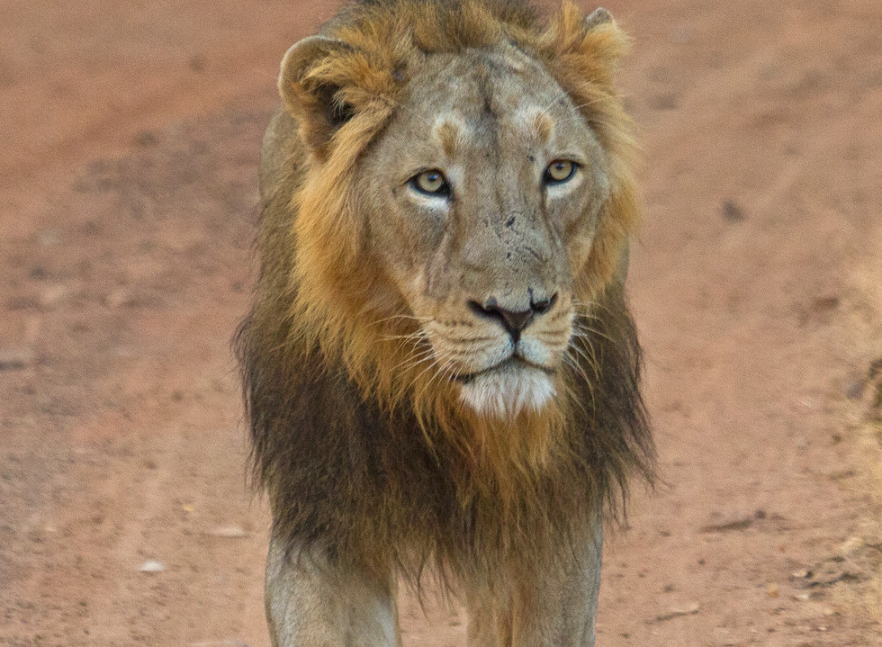 male lion_4896.jpg