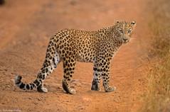 leopard_6222.jpg