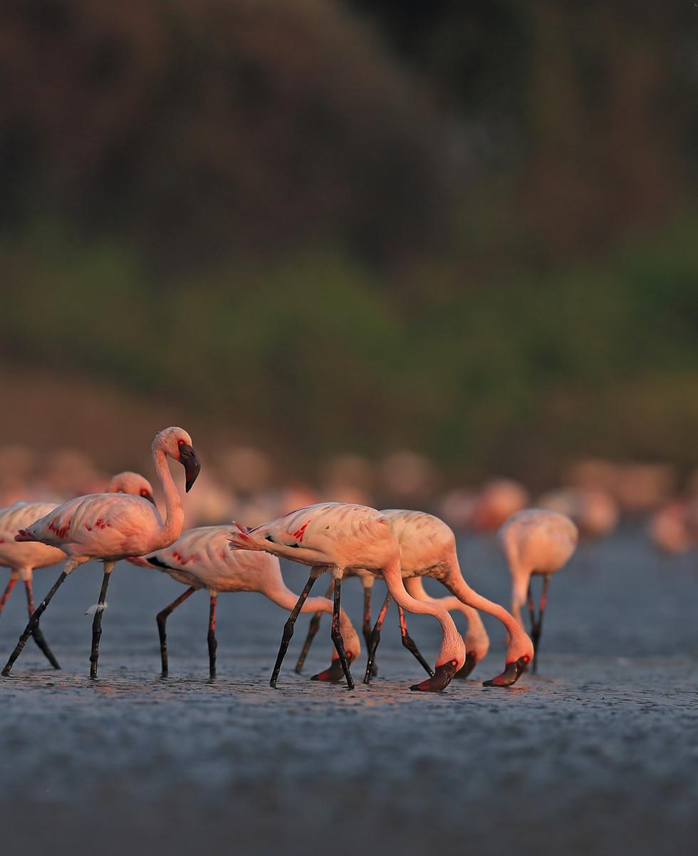 Lesser Flamingoes_aishwarya sridhar