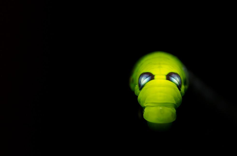 hawk moth caterpillar(Devil)_4737.jpg