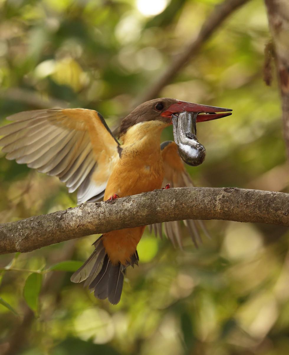 stork billed kingfisher.jpg