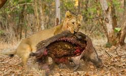 Asiatic lioness.jpg
