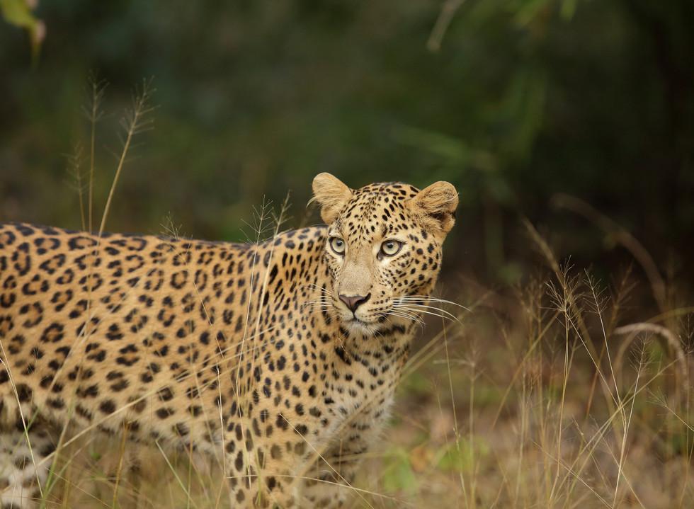 leopard_6216.JPG