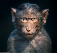 Bonnet Macaque_5071.jpeg