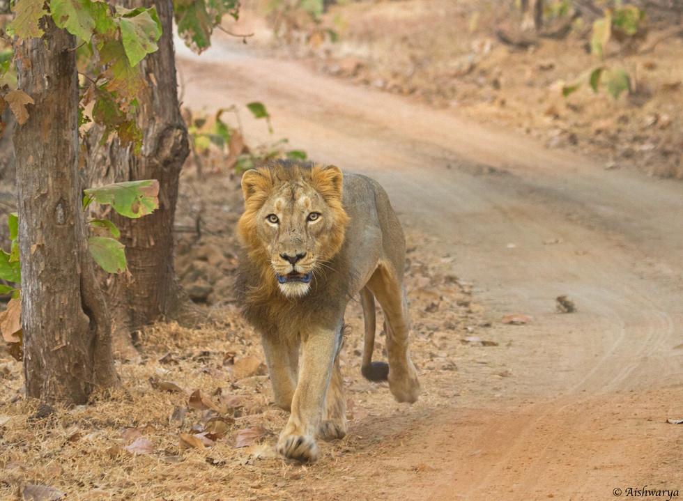 male lion_4936.jpg