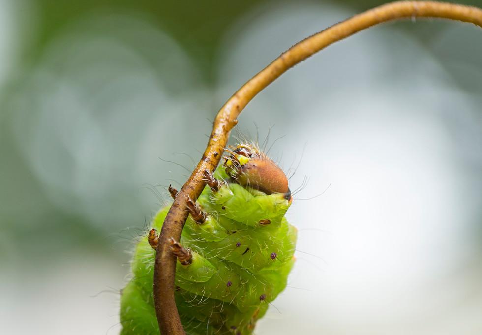 caterpillar (DCPOTY)_1357.jpg