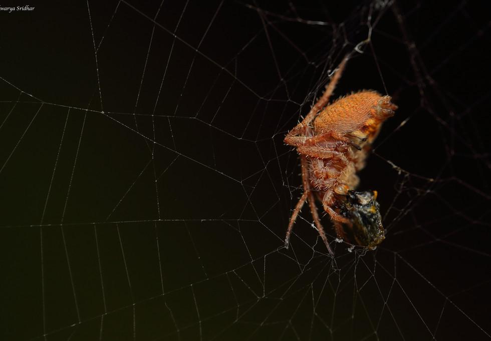orange spider_7140.jpg