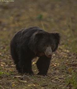 sloth bear_3795.jpeg