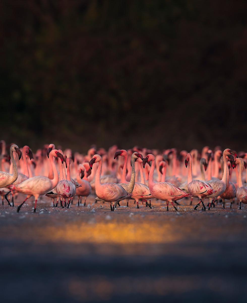 flamingoes_1_-7898.jpg