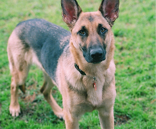 SPC Sean M. Walsh's german shepard dog Lena