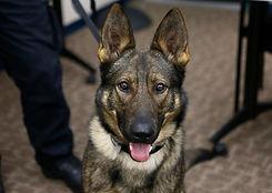 K-9 dog officer german shepard