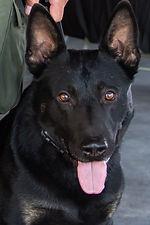 K-9 Raider Santa Clara Sheriff